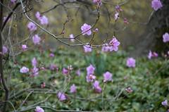 Korean Azalea, Rhododendron mucronulatum