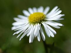 He loves me - He loves me not (Kirsten M Lentoft) Tags: white flower macro bravo daisy momse2600 kirstenmlentoft