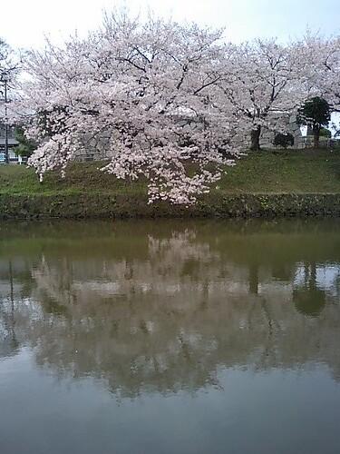 sakura at morning