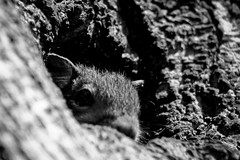 Squirrel Baby in B/W (mightyquinninwky) Tags: blackandwhite baby tree home squirrels infant nest kentucky monochromatic orphans bark trunk lexingtonky knothole chevychase fontaineroad blackwhitephotos centralkentucky weened