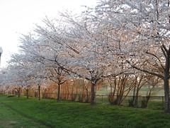 IMG_0473.JPG (Sarah Oh) Tags: sunrise dc cherryblossoms hainspoint