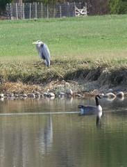 Great Blue Heron with Beard