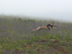 Run, Elisa, run (Marianne Perdomo) Tags: greyhound pets flying eli running explore spanish brindle mascotas barcino elisa rescued corriendo espaol volando galgo flydog adoptadas safe200