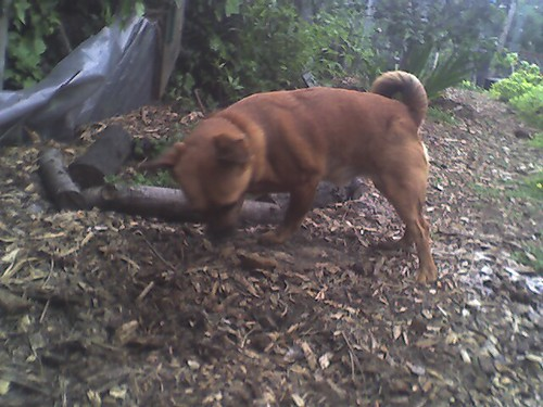 Dexter is busily burying a bone in the backyard.