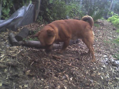 Dexter is busily burying a bone in the backyard.