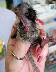 Marmoset Monkey Baby (Scott Kinmartin) Tags: baby pets monkey interestingness explore pygmymarmoset marmoset pygmy babymonkey naturesfinest callitrichid 15challenges 15challengeswinner marmosetmoney