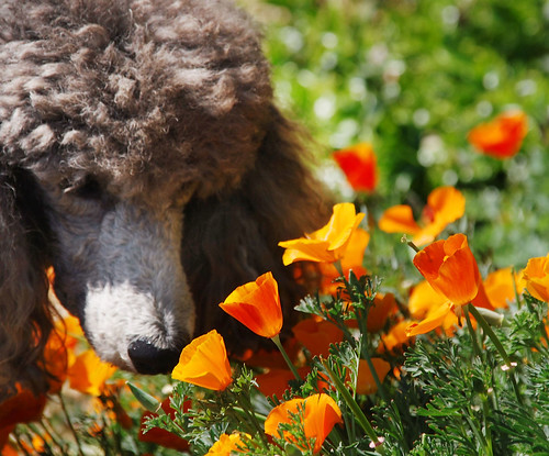 Puppy in the Poppies