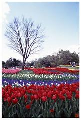 Tulip(Fil,m) 070414 #01