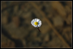 Like a Flying Flower (Andrea Cucconi) Tags: italy white flower yellow fly flying 3d nikon italia optical volo giallo illusion daisy fiore bianco margherita volante volare illusione supershot 10faves d80 tridimensionale nikonstunninggallery andreacucconi superbmasterpiece
