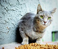 squeekee has an unfortunate meow for a street cat (sesame ellis) Tags: cat straycat imasucker ©racheldevine wwwracheldevinecom wecallhimanoutsidecat squeekee