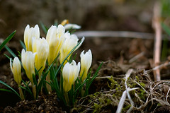 Crocus (Rn) Tags: flower nature colors beautiful iceland crocus 2007 rn magnsdttir rnmagnsdttir ranmagnusdottir
