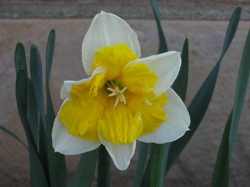 Yellow&White Daffodil3