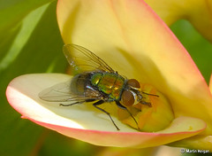 Blowfly pollinating an Euphorbia splendens flower - by Martin_Heigan