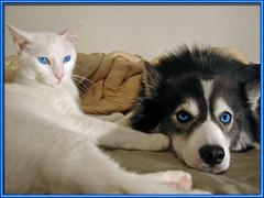 Accentuate BLUE (Scott Kinmartin) Tags: blue dog pet animal cat eyes blueeyes blueribbonwinner abigfave diamondclassphotographer