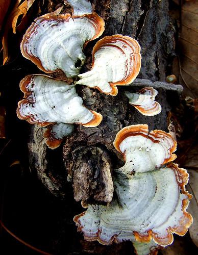 polypores