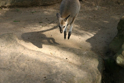 Wallaby on the run