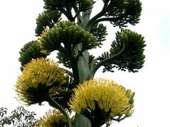 Agavaceae Flower Agavaceae Flower Flowers