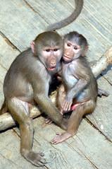 hamadryas baboon monkey , Everland zoo (floridapfe) Tags: baby zoo monkey baboon everland hamadryas everlandmonkeyvalley
