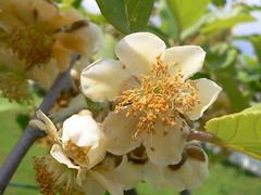 Blossom Kiwi (Actinidia chinensis) (Luigi Strano) Tags: flowers flores primavera fleurs garden spring blossoms blumen blooms fiori kiwi excellence naturesfinest actinidia impressedbeauty