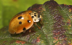 """10-spot Ladybird (Adalia 10-punctata)(2) • <a style=""""font-size:0.8em;"""" href=""""http://www.flickr.com/photos/57024565@N00/486918146/"""" target=""""_blank"""">View on Flickr</a>"""