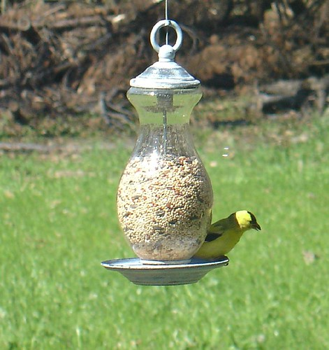 Yellow finch at the bird feeder in our garden