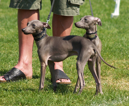WY meets WiN;  Italien Greyhounds, Elmo and Elise