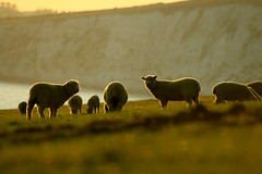 Glow - Sheep (s0ulsurfing) Tags: light sunset sea cliff sunlight green nature beautiful grass sunshine backlight wow wonderful landscape gold evening coast fantastic bravo warm glow dof sheep natural bokeh dusk compton farm magic awesome hill warmth halo atmosphere cliffs explore coastal isleofwight getty glowing backlit magical isle slope magnificent grazing wight gentle backlighting 2007 naturesfinest supershot s0ulsurfing abigfave superaplus aplusphoto goldenphotographer diamondclassphotographer