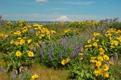 Mt. Adams (Just Peachy!) Tags: oregon hiking wildflowers mtadams lupine columbiarivergorge natureconservancy balsamroot rowenacrest rowenaplateau tommccallpreserve mccallpoint