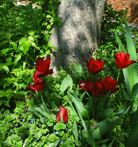 Tulips Beneath the Crabapple Tree