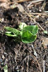 fava seedling