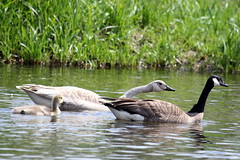 White Canada Goose (Ian Mather) Tags: canadagoose brantacanadensis