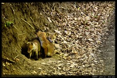 ... and three little foxes ...  ;-) (Sam' place) Tags: bravo fox soe sauvage renard shieldofexcellence anawesomeshot