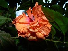 Double Hibiscus (dinesh_valke) Tags: flora evergreen hibiscus hibisco malvaceae hibiscusrosasinensis shrub rosemallow cayena gumamela ibisco chuchin bungaraya shoeflower chinarose tropicalhibiscus hawaiianflower chinesehibiscus roseofchina rosadechina hawaiianhibiscus mallowfamily fusang rosedechine sembaruthi chineseroos gurhal chemparati jaswand dosniphool  jubakusumathonba    queenofthetropics hibiscuschinensis blackingplant bussoge chihchin chinesischerroseneibisch cingulu claveljapons feuilleschoublak hibiskukset jihchi khatmahsiniyah rosadellacina rusang schoensmeerplant sehempariti shoeblackplant worowari