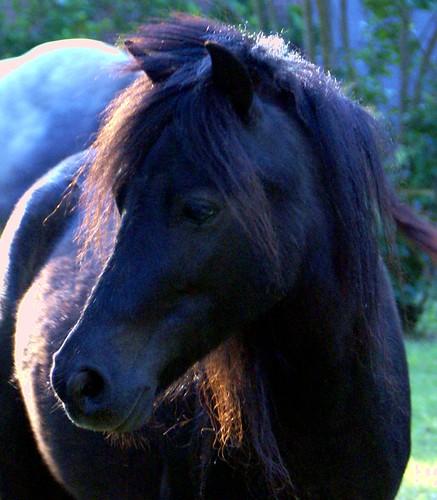 evening pony
