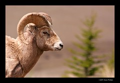 XT_08892 (Sean Phillips) Tags: canada calgary ilovenature kananaskis alberta provincialpark bighornsheep kananaskiscountry kcountry specanimal animalkingdomelite abigfave flickrdiamond photobyseanphillips