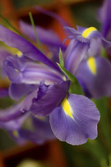 Normies Iris (spiky face) Tags: blue iris flower purple purpleflower normy thecolorpurple streamofblue