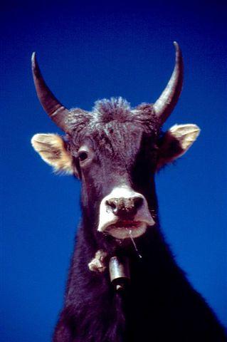 Smart Cattle