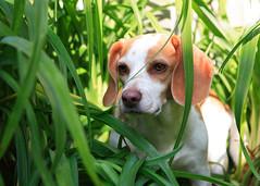 jungle beagle (buzzhayes) Tags: stella dog white rabbit me puppy lemon with hound highfive but sleeps amateurs abeauty amateurshighfive invitedphotosonly