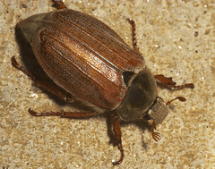 """Cockchafer (Melolontha melolontha)(6) • <a style=""""font-size:0.8em;"""" href=""""http://www.flickr.com/photos/57024565@N00/509670771/"""" target=""""_blank"""">View on Flickr</a>"""