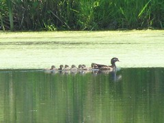 Baby wood ducks and momma
