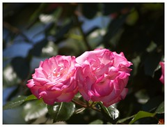 Rose 070520 #27