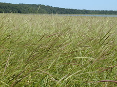 A natural wild rice bed in Minnesota