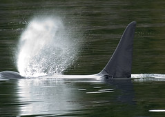 Orca Blow (seagr112) Tags: britishcolumbia blowhole whale orca killerwhale