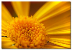 Journey to the centre of the sun.... (borealnz) Tags: flower macro yellow bravo searchthebest daisy getty reversedlensmacro magicdonkey flowerotica outstandingshots artlibre anawesomeshot superaplus aplusphoto magicdonkey25 thatsclassy borealnz