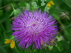 Basket Flower (theroadhere) Tags: white flower nature toxic texas purple americana wildflower poisonous centaurea centaureaamericana basketflower panasonicdmcfz3 goldstaraward americanstarthistle thornlessthistle americanknapweed
