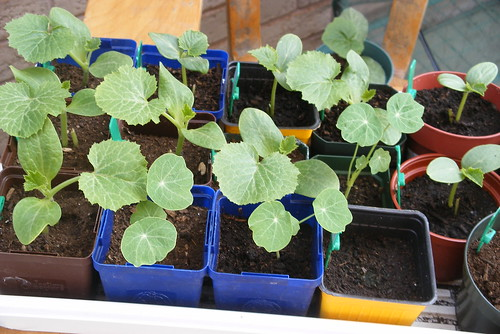 More pumpkin, etc. seedlings.