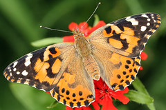 painted (shazinova) Tags: butterfly bugs paintedlady