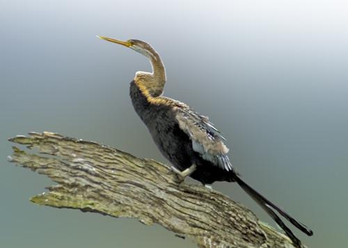Darter or Snake Bird at Thekkady