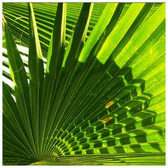 Circular (espion) Tags: topf25 tag3 leaf flora topv333 bravo tag2 tag1 shadows 500v20f 100v10f palm palmtree apex palmleaf palmleaves 1000v sgpow14