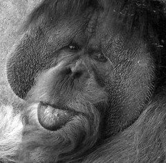 Clyde (Twitchietai) Tags: bw motif face animal closeup silver clyde emotion expressions explore orangutan ape macaco sandiegozoo aap  singe affe sadeyes simio  scimmia    tartyshots
